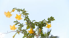 Beautiful yellow angel's trumpet flower also known as Brugmansia Stock Footage