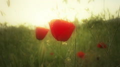 Poppy flowers in field Stock Footage