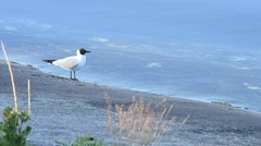 Tern cleaning its plumage with white feathers near water surface Stock Footage
