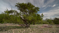 4k argan tree morocco nature wild rural sous valley Stock Footage