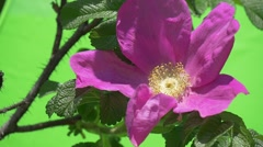 Violet Flower, Rose Closeup on The Bush, Slow Motion, Petals Are Fluttering - stock footage