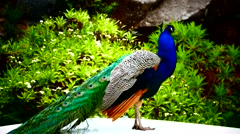 Male Peacock freely in Parque Ecologico do Funchal Stock Footage