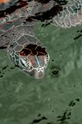 Head of a Green Sea Turtle in the Water. - stock photo