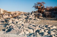 Boabab on Granite Rocks - stock photo