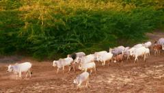 Cattle herd going through amazing sunset landscape in Bagan. Myanmar (Burma) Stock Footage