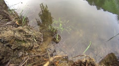 Slow motion of a frog in a pond jumping into water Stock Footage