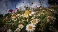 Chamomile in meadow Stock Footage