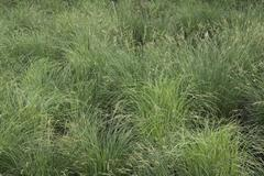 Tussock Sedge - stock photo