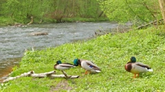 Three drake ducks resting on the river bank Stock Footage