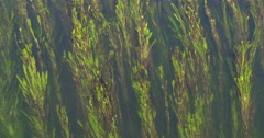 Algae in the river - stock footage