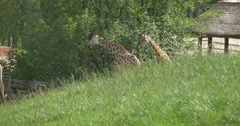 Two Giraffes eathing Behind the Hill Stock Footage
