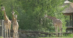 One Giraffe Is Eating Tree Leaves, Three Giraffes Are Walking Away Stock Footage