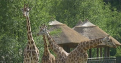 Four Giraffes Are Standing, Hovels on Pillars Are Behind Stock Footage