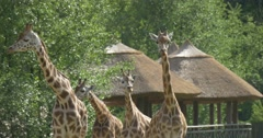 Four Giraffes Are Standing, Hovels on Pillars Are Behind, Animal Go Away Stock Footage