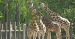 Four Giraffes Are Walking in the Paddock Stock Footage