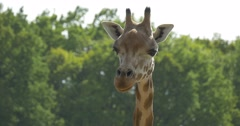 Giraffe's Face Closeup, Staring, Move The Ears Stock Footage