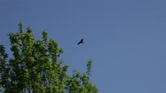 4k Buzzard-eagle deep flying between trees in spring season Stock Footage