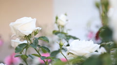 Rose bush Stock Footage