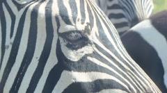Zebra in savanna Stock Footage