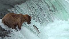 Alaskan Brown Bear on Falls Has 3 Salmon Jump Close to Her - stock footage