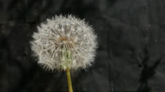 Blowing dandelion seed head flower slow motion 1080p FullHD video - stock footage