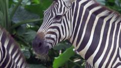 Closeup of zebra head - 4k Stock Footage