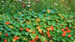 Nasturtium - stock photo