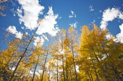 Colorful Aspen Pines Against Deep Blue Sky Stock Photos