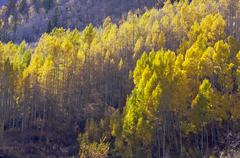 Aspen Pines Changing Color Against the Mountain Side - stock photo