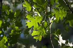 Backlit Oak Leaves - stock photo
