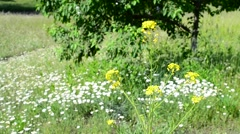 Yellow rape flower in lush colorful meadow with many daisies Stock Footage