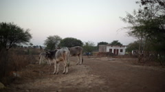 Cows in Indian village, long shot, soft focus Stock Footage