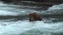 A Large Boar Brown Bear Starts Across the River & Intimidates Two Bears Stock Footage