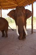 Old male elephant with large tusks - stock photo