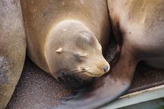 Solitary California sea lion resting - stock photo