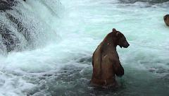 Brown Bear Stands on Hind Feet in River Looking for Fish Then Gets Intimidated. Stock Footage