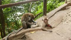 Macaque monkey mother and child, adult animal groom the small one Stock Footage