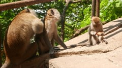 Male macaque search louse in female animal fur, monkey family Stock Footage