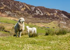 Sheep and lambs in welsh mountain farm Stock Photos