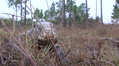 Tegu Walking in the Everglades Stock Footage