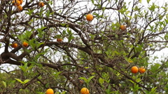 Close up of orange trees in the garden, selective focus - stock footage