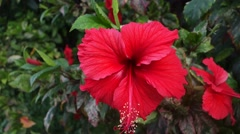 Stock Video Footage of Red hibiscus flower in Singapore