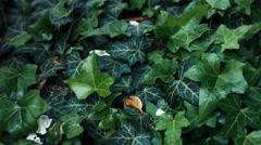 Foliage hedera helix ivy tracking shot 1/3 Stock Footage