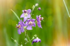 A mauve wildflower in the meadow under the warm spring sun Stock Photos