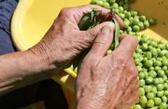 hands of an old woman take off the green peas from pods - stock photo