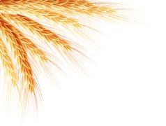 Stock Illustration of Golden wheat ear after the harvest. EPS 10