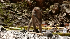 Long tail macaque eating stem dirty cave floor, run away Stock Footage