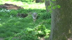4k Lonesome wolf walking relaxed in grassy landscape Stock Footage