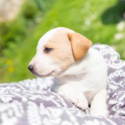 Mixed-breed cute little puppy in lap. Stock Photos