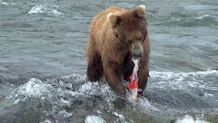 Alaskan Brown Bear Eating a Salmon while Standing in River at Top of Falls Stock Footage